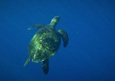 Malediven-Schildkroete