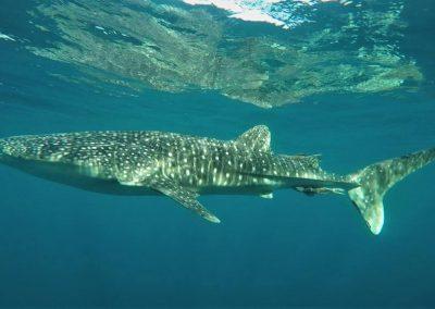 Malediven-Walhai